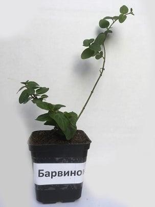 Барвинок малый, листья сушёные